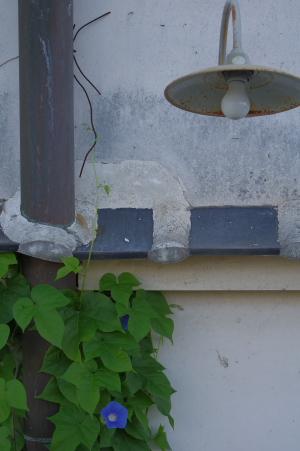 2010_08_09 アサガオ2.jpg